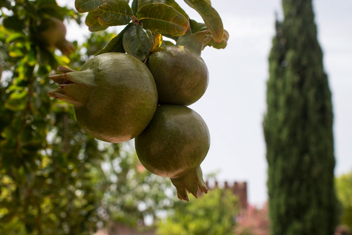 Cultivo propio de granada en Vitalgrana