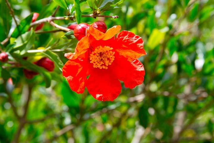 La flor de la granada, ¡descubre todo lo que esconde!