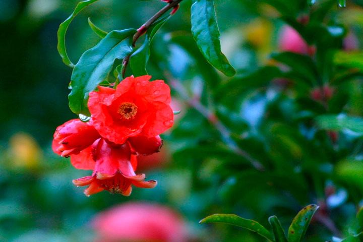 Flores de un árbol de granada
