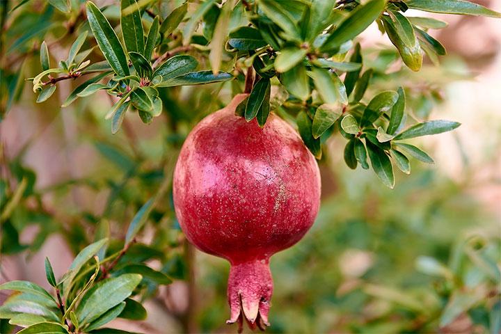 Granada fruta, origen e historia, ¡descúbrela!