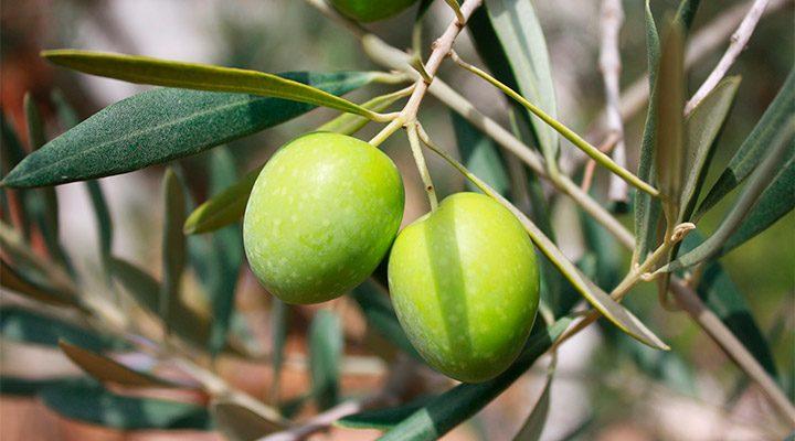 Hidoxitirosol en el aceite de oliva
