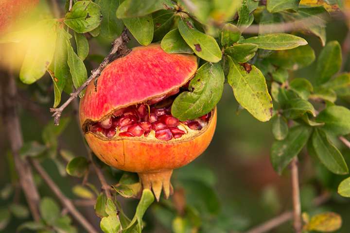 Nutrientes de la granada, una fruta cargada de esenciales para la salud