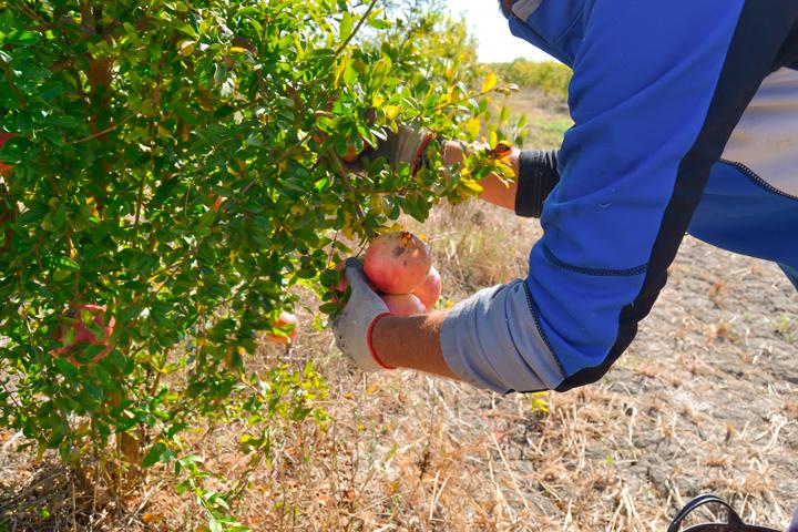 Cultivo ecológico, clave para una fruta pura y saludable