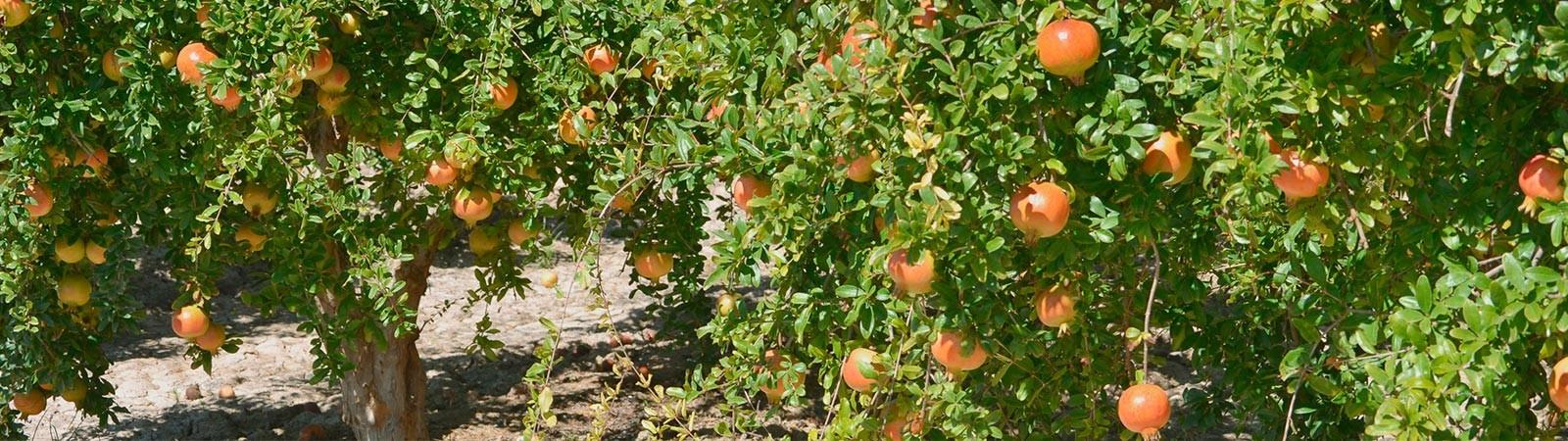 Organic pomegranate juice - Vitalgrana